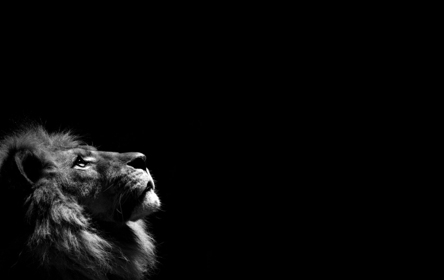image-of-a-white-lion-wallpaper